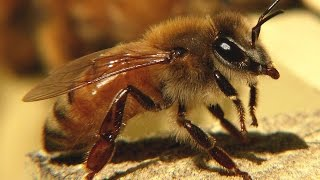 Download Silence of the Bees (Nature Documentary, Full Length) Video