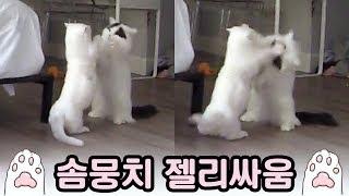 Download 투닥투닥 고양이 솜뭉치 싸움 🐾 Video