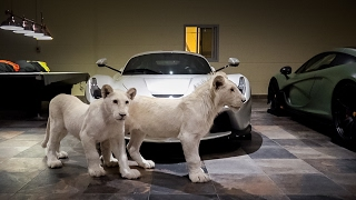 Download Super Rare White Lions & Hypercars... Now I've Seen it All Video