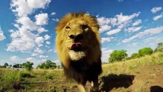 Download Mischievous Gabby & Bobcat | The Lion Whisperer Video