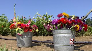 Download Walk away with a spectacular bouquet of dahlias, gladiolas, and zinnias at this Tyngsboro farm Video