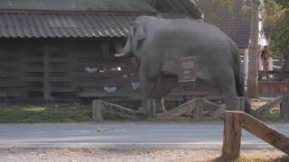 Download Wild Bull Elephant in Musth, Khao Yai National Park, Thailand. Part2 Video