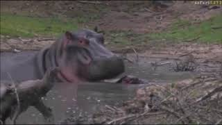 Download Safari Live : Noelle and the Hippo saga this afternoon at Chitwa Dam Nov 08, 2017 Video