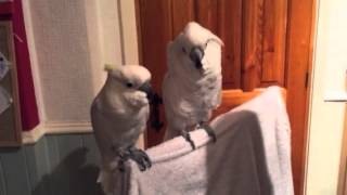 Download cockatoo loves elvis Video