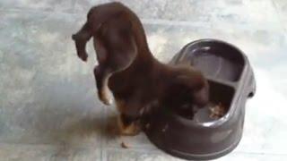 Download ″Puppies Doing Handstand Compilation″|| CFS Video