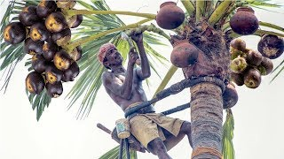 Download Awesome India Agriculture Tradition Farm - Toddy palmyra fruit harvesting and processing Video