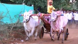 Download Furious khillari stud bull running in bullock cart race Video