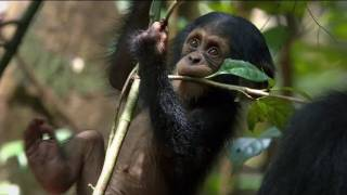 Download Chimpanzee Official Trailer Video