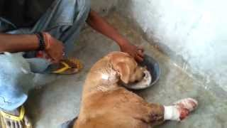 Download Amazing rescue & recovery of dog hit by train who lost front legs but learns to walk on two! Video