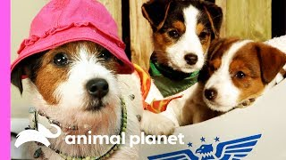 Download Tiny Terriers Follow In Their Mom's Modeling Footsteps | Too Cute! Video