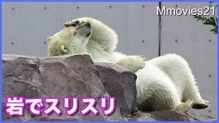 Download 岩の上でスリスリするリラが可愛い デナリ張り切って2回公演 Polar Bears Video
