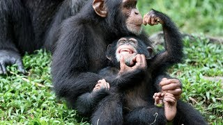 Download Chimp Life Diary - BBC Video