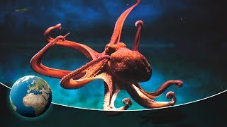 Download Primeval squids - In the hunting grounds of the mysterious Cephalopods Video