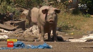 Download Близько сотні невловимих свиней тримають у страху ціле село на Полтавщині Video