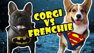 Download CORGI vs FRENCH BULLDOG!! BATMAN vs SUPERMAN Video