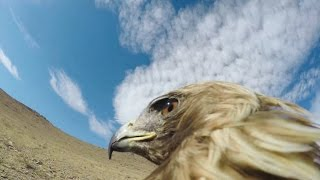 Download GoPro: Hunting a Fox From an Eagle's POV Video