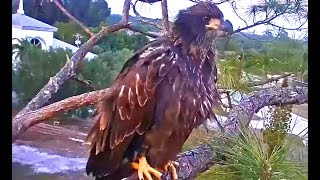 Download SWFL eagles Tuff Love Good to see E9 he came to nest tree food begging Harriet & M15 Video