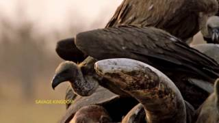 Download Savage Kingdom on Nat Geo Wild Video