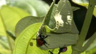 Download Bizarre Giraffe-Necked Weevils Fight for a Mate - Madagascar, Preview - BBC Two Video