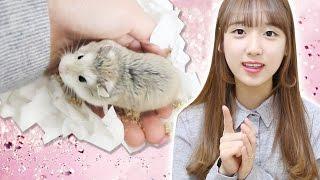 Download 로보로브스키 햄스터 핸들링 방법+햄스터 핸들링하는 방법+햄스터와 친해지기!(햄스터 훈련) How to Tame a Hamster Handling [이루리] Video