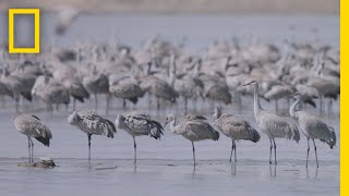 Download Thousands of Cranes Take Flight in One of Earth's Last Great Migrations | National Geographic Video