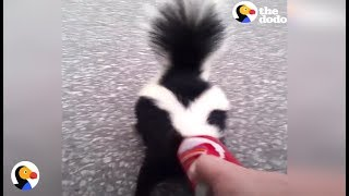 Download BRAVE Guy Rescues Skunk Before Important Meeting With the Mayor   The Dodo Video