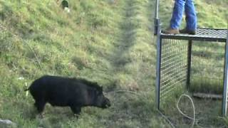 Download Pig Trap in Hawaii Releasing Boar After Castration Video