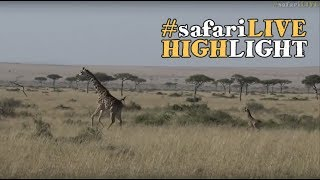 Download Miniature Monday - A newborn giraffe calf races to keep up with Mom. Video