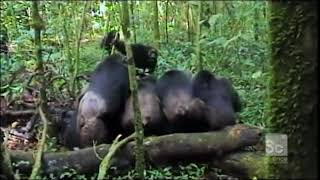 Download Gang of Chimps Torture and Kill a Lone Chimp Video