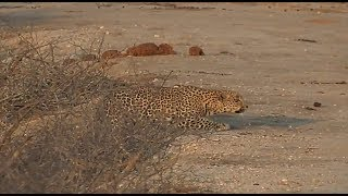 Download SafariLive Sept 19 - Hosana stalking Impala! Video