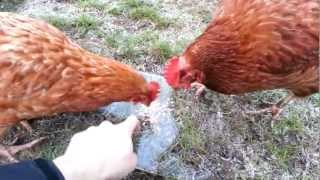 Download Stupid chickens deceived by ice Video