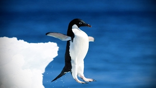 Download Funny Penguins 🐧 Penguins Fails [Funny Pets] Video
