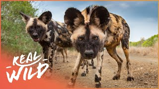 Download Wild Dogs Biting Back [Wild African Dogs Documentary] | Wild Things Video