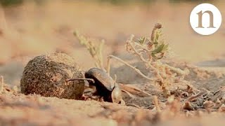 Download Smelly seeds fool dung beetles Video