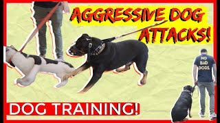 Download Dominant Aggressive Rottweiler Attacks other dogs - Dog Rehabilitation with Americas Canine Educator Video