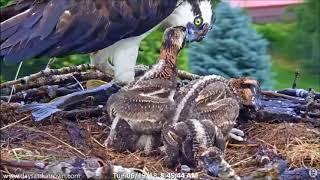 Download Dunrovin Ranch Osprey Nest Video 2018-06-19 100609-headless fish 8.37 AM Video