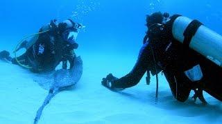 Download Magnetic Stingray Repels Hammerhead Sharks Video