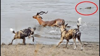Download Impala vs Wild Dogs vs Crocodile vs Hippo Video