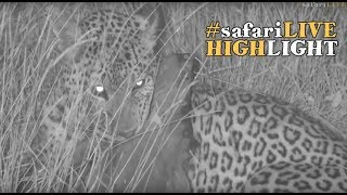 Download WE had our first leopard sighting in the Mara! #safariLIVE Video