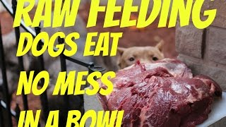 Download feeding dog food raw chicken bowl pitbull pit bull muscle bully conditioning body building Video
