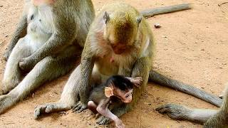 Download Ah ! What monkey doing on new baby? New baby cry too much cos drag very hard, It so pity on baby Video