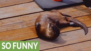 Download Friendly wild otters casually approach humans Video