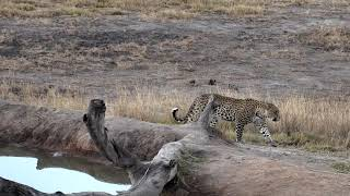Download Djuma: Hosana male leopard goes on a walkabout - 16:55 - 07/22/18 Video
