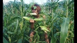 Download Culture Technology Primitive / Survival burns corns too Delicious,Cooking Burns Video