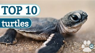 Download Top 10 Cutest Turtles Video
