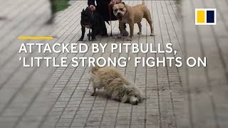 Download Attacked by pitbulls, stray dog 'Little Strong' in China fights on Video