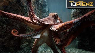 Download Top 10 TERRIFYING Facts About OCTOPUSES Video