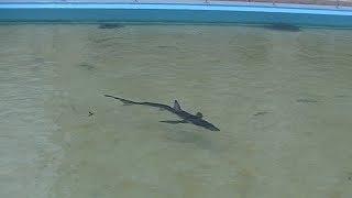 Download 世界で最も美しいサメ「ヨシキリザメ」が泳ぐむろと廃校水族館 Video