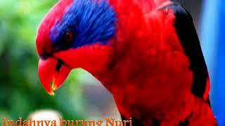 Download Merdunya Kicauan Burung nuri kepala merah Bermata Biru... Video