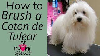 Download How to Brush a Coton de Tulear Video